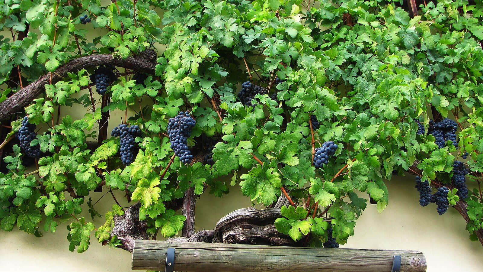 The world's oldest vine in Maribor, Slovenia