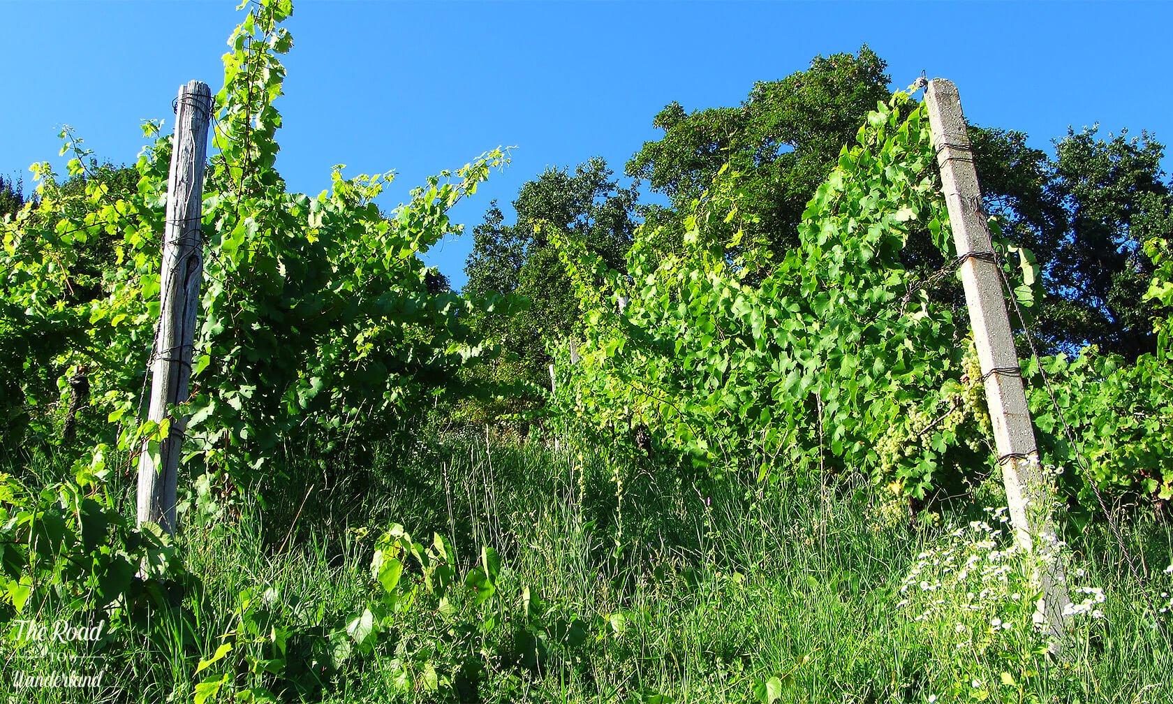 Grape vines in Maribor