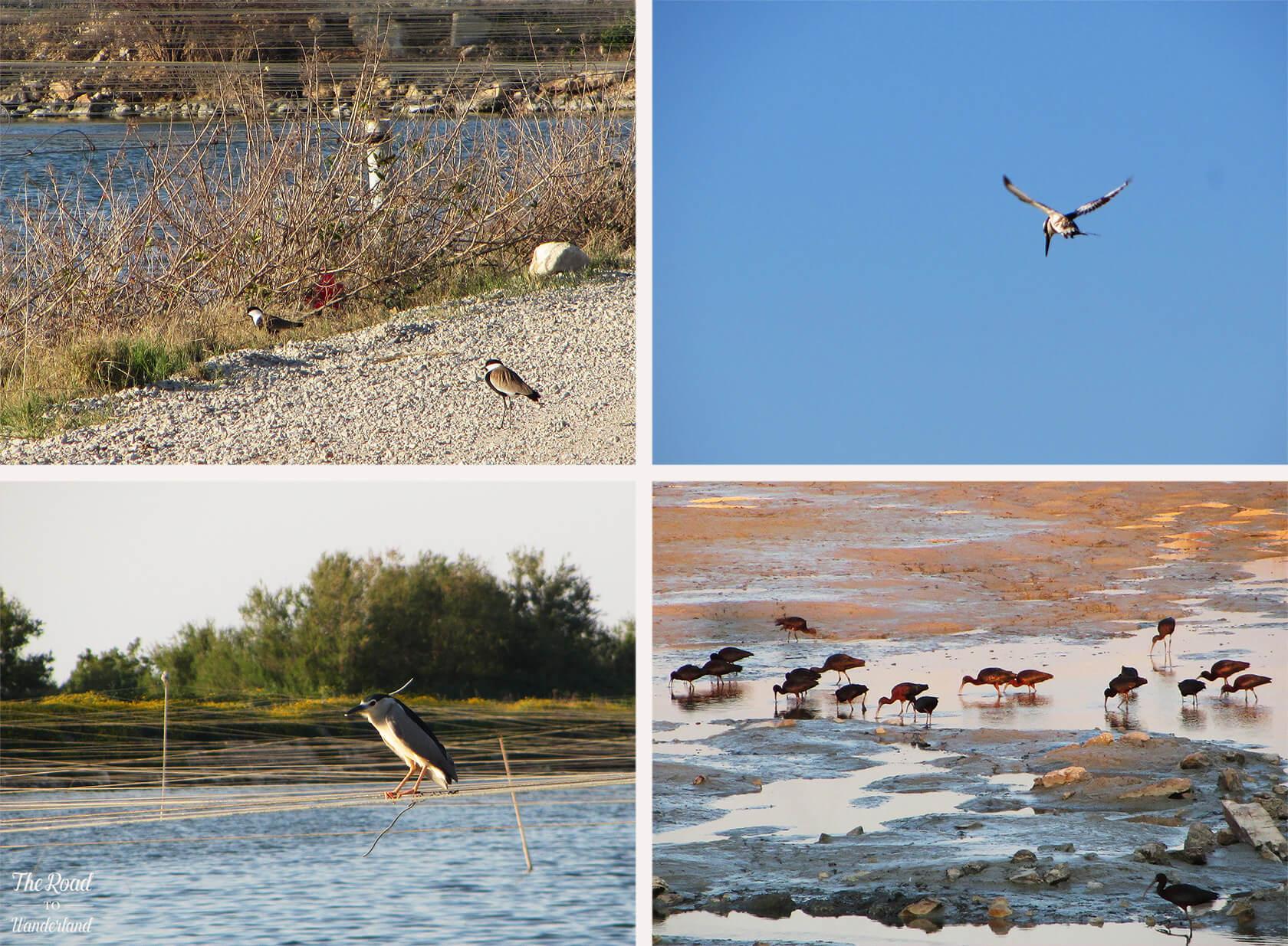 Israeli Wildlife: spur-winged plover, pied kingfisher, black-capped night heron & glossy ibis