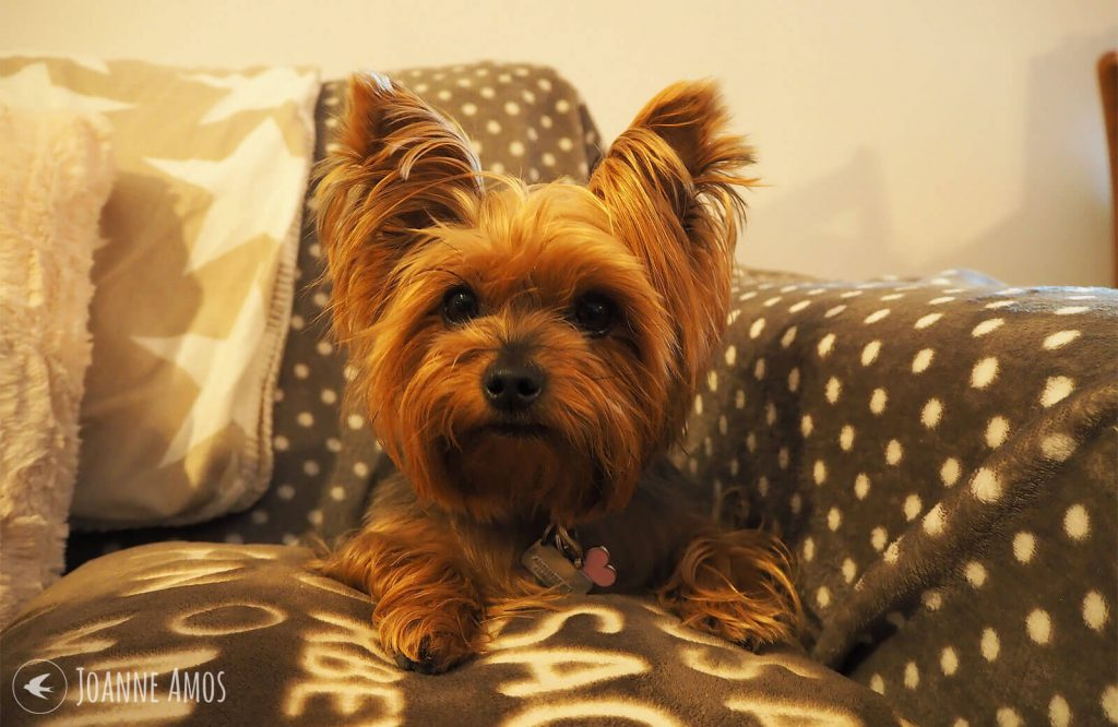 Daenerys Stormborn, the Yorkshire Terrier